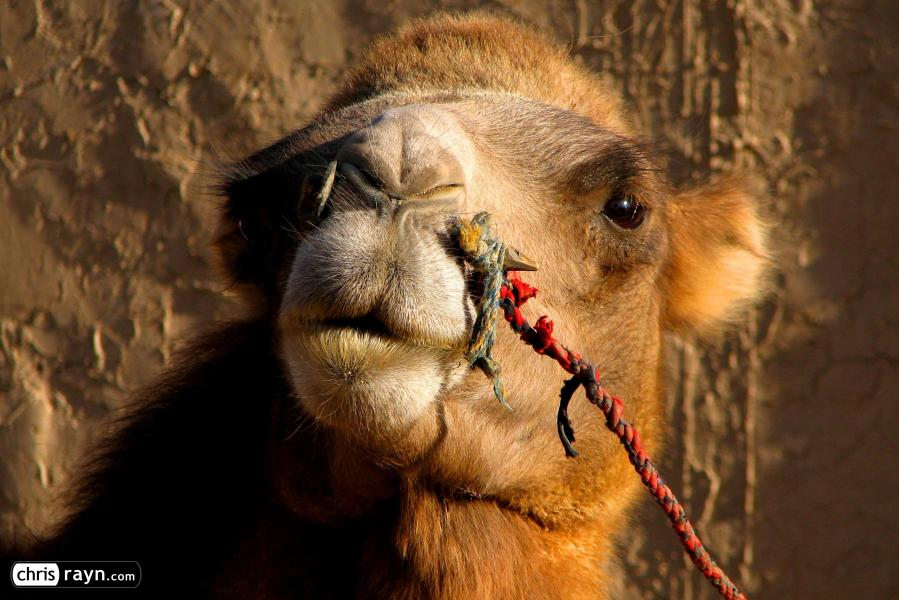Camel in the Dunhuang desert