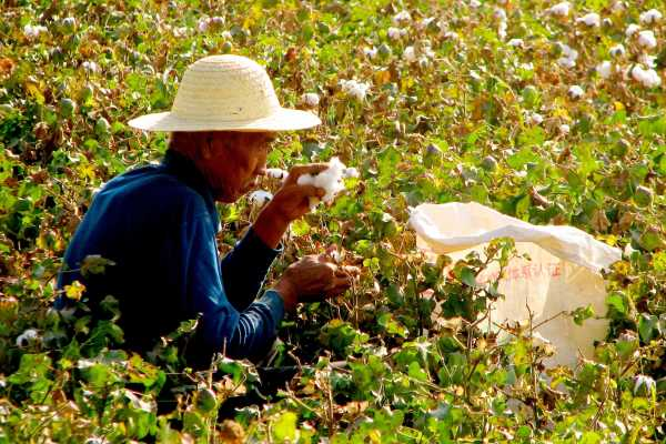 Cotton Harvest in Dunhuang