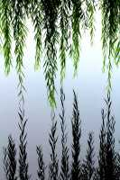 Willow Leaves Extending Endlessly into Their Lake Reflection